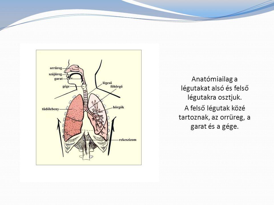 Anatómiailag a légutakat alsó és felső légutakra osztjuk