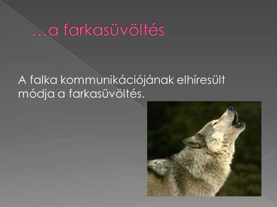 …a farkasüvöltés A falka kommunikációjának elhíresült módja a farkasüvöltés.
