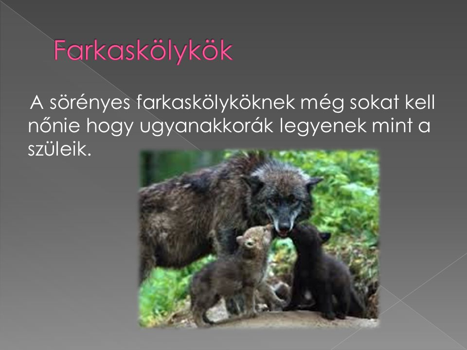 Farkaskölykök A sörényes farkaskölyköknek még sokat kell nőnie hogy ugyanakkorák legyenek mint a szüleik.