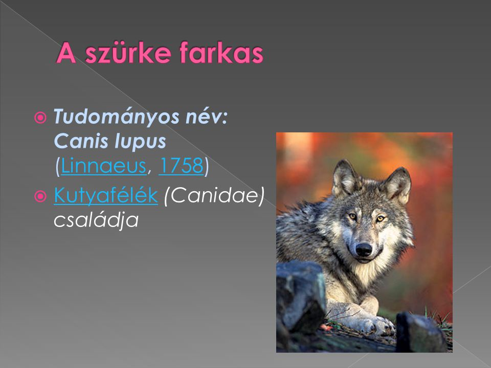 A szürke farkas Tudományos név: Canis lupus (Linnaeus, 1758)