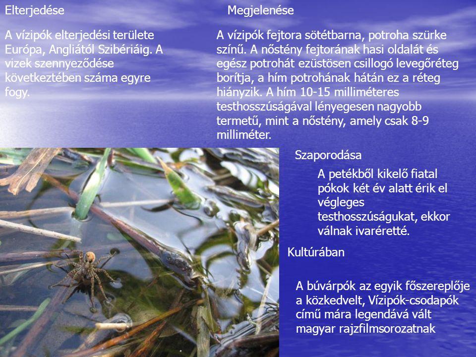Elterjedése Megjelenése. A vízipók elterjedési területe Európa, Angliától Szibériáig. A vizek szennyeződése következtében száma egyre fogy.