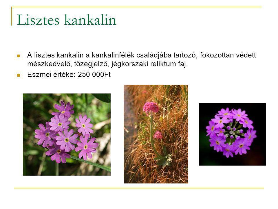 Lisztes kankalin A lisztes kankalin a kankalinfélék családjába tartozó, fokozottan védett mészkedvelő, tőzegjelző, jégkorszaki reliktum faj.