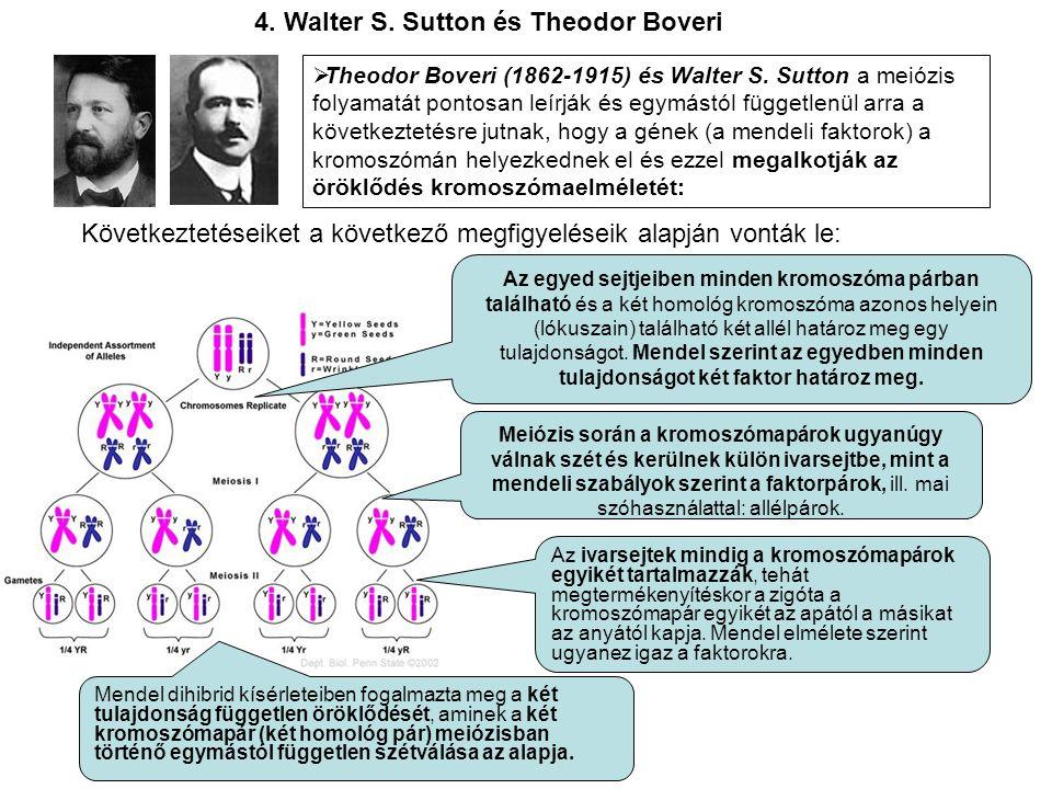 4. Walter S. Sutton és Theodor Boveri