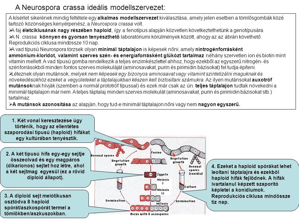 A Neurospora crassa ideális modellszervezet: