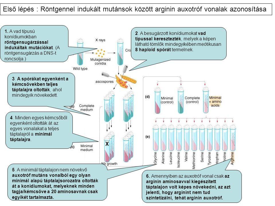Első lépés : Röntgennel indukált mutánsok között arginin auxotróf vonalak azonosítása