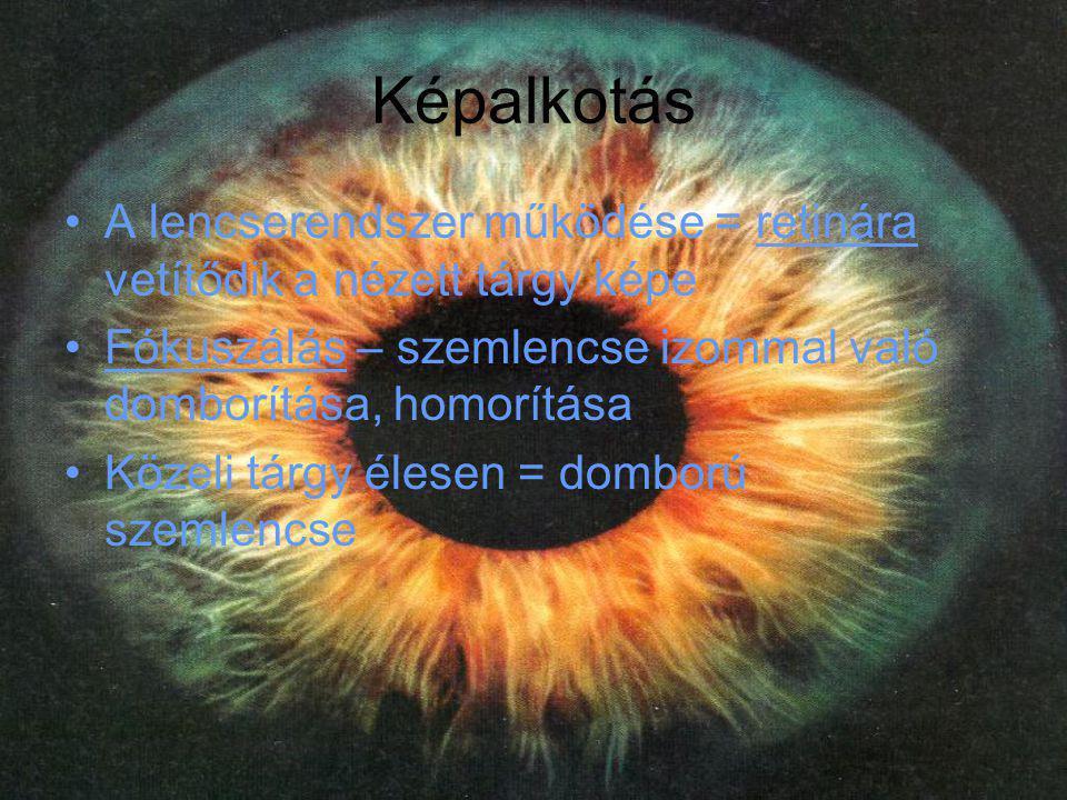 Képalkotás A lencserendszer működése = retinára vetítődik a nézett tárgy képe. Fókuszálás – szemlencse izommal való domborítása, homorítása.