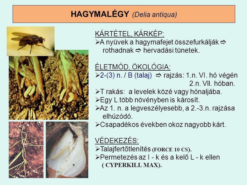 HAGYMALÉGY (Delia antiqua)
