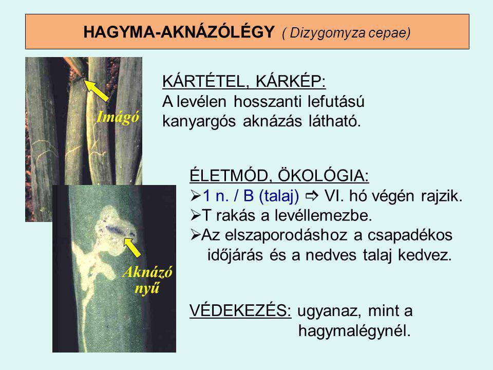 HAGYMA-AKNÁZÓLÉGY ( Dizygomyza cepae)