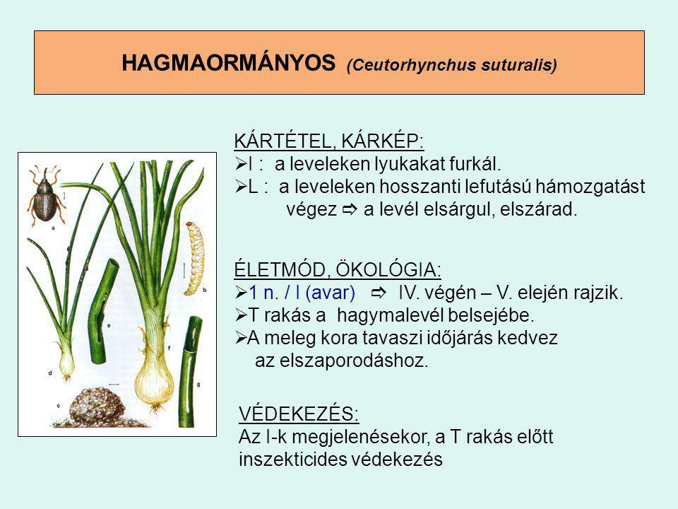 HAGMAORMÁNYOS (Ceutorhynchus suturalis)