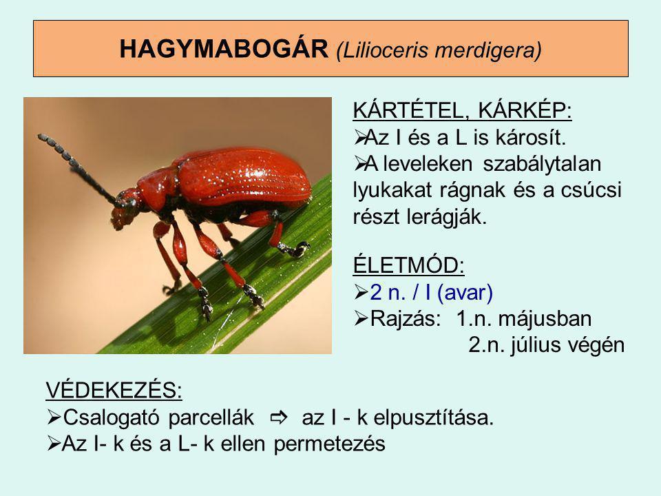 HAGYMABOGÁR (Lilioceris merdigera)