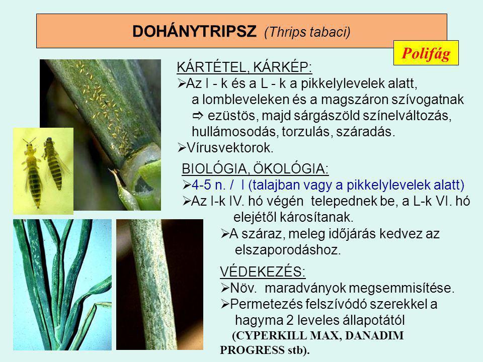 DOHÁNYTRIPSZ (Thrips tabaci)