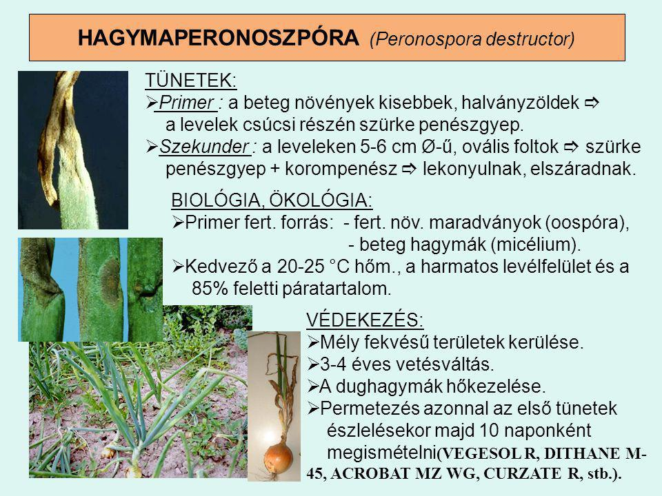 HAGYMAPERONOSZPÓRA (Peronospora destructor)