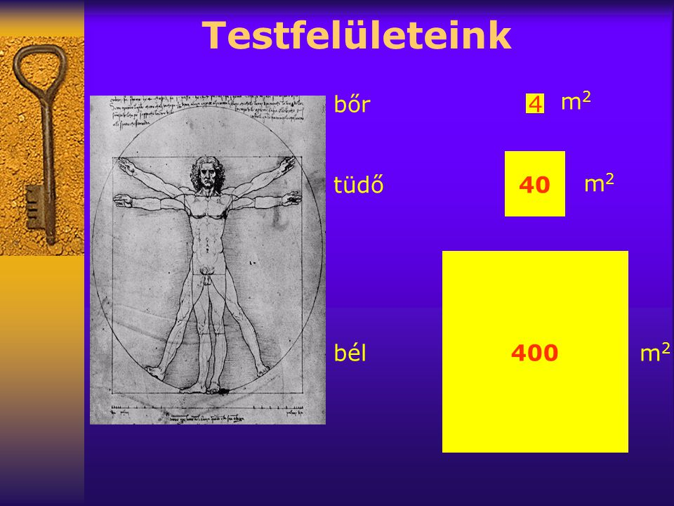 Testfelületeink bőr m2 4 40 tüdő m2 400 bél m2