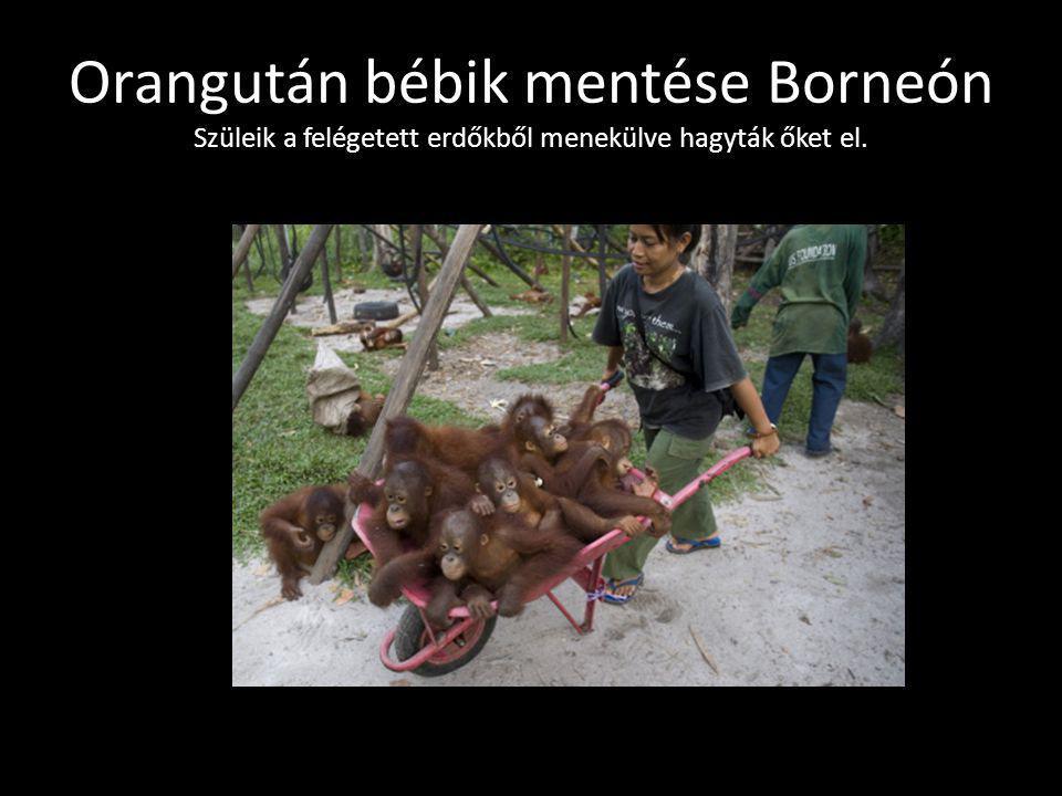 Orangután bébik mentése Borneón Szüleik a felégetett erdőkből menekülve hagyták őket el.