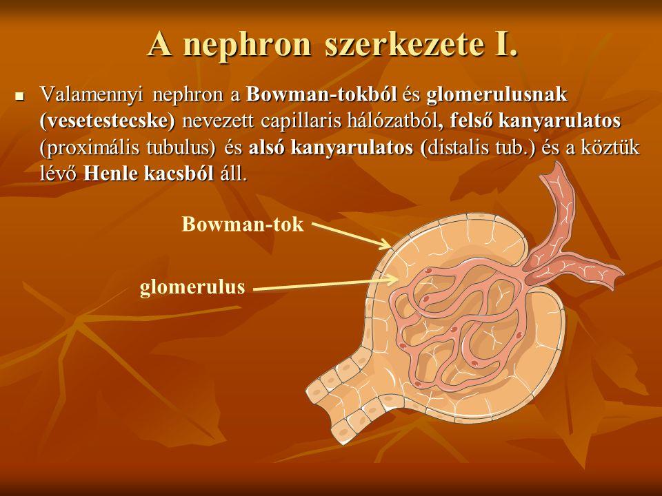 A nephron szerkezete I.