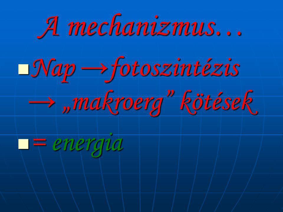 """A mechanizmus… Nap →fotoszintézis → """"makroerg kötések = energia"""
