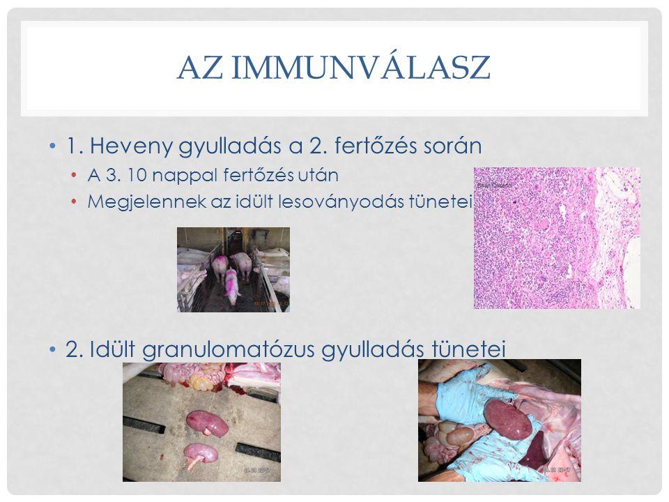 AZ IMMUNVÁLASZ 1. Heveny gyulladás a 2. fertőzés során