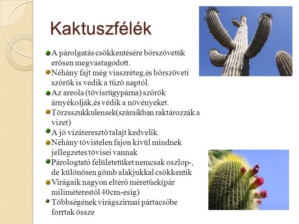 Kaktuszfélék A párolgatás csökkentésére bőrszövetük erősen megvastagodott. Néhány fajt még viaszréteg,és bőrszöveti szőrök is védik a tűző naptól.