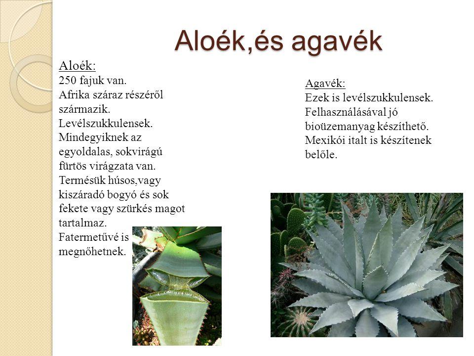 Aloék,és agavék Aloék: 250 fajuk van.