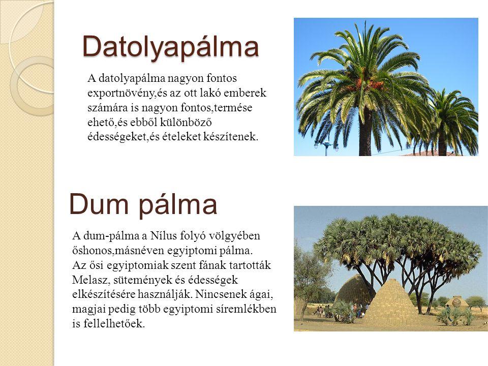 Datolyapálma Dum pálma