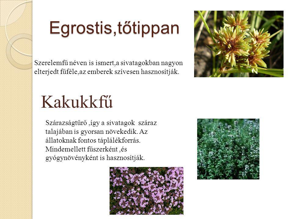 Kakukkfű Egrostis,tőtippan