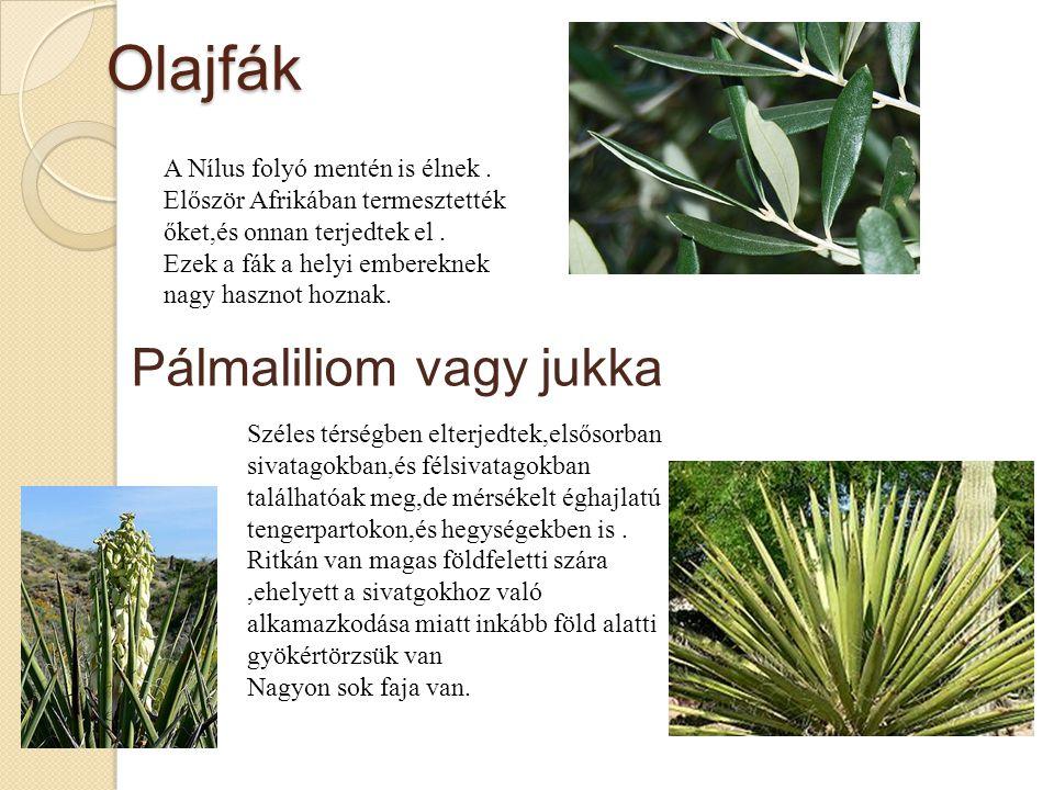 Olajfák Pálmaliliom vagy jukka