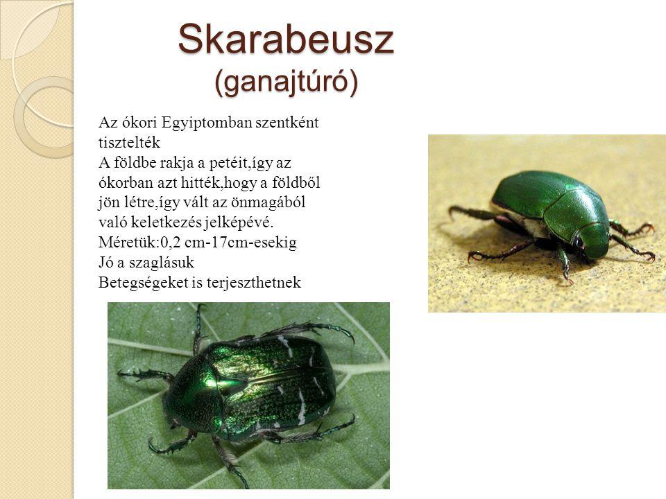 Skarabeusz (ganajtúró)