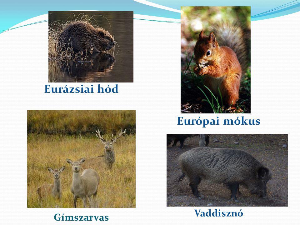 Eurázsiai hód Európai mókus