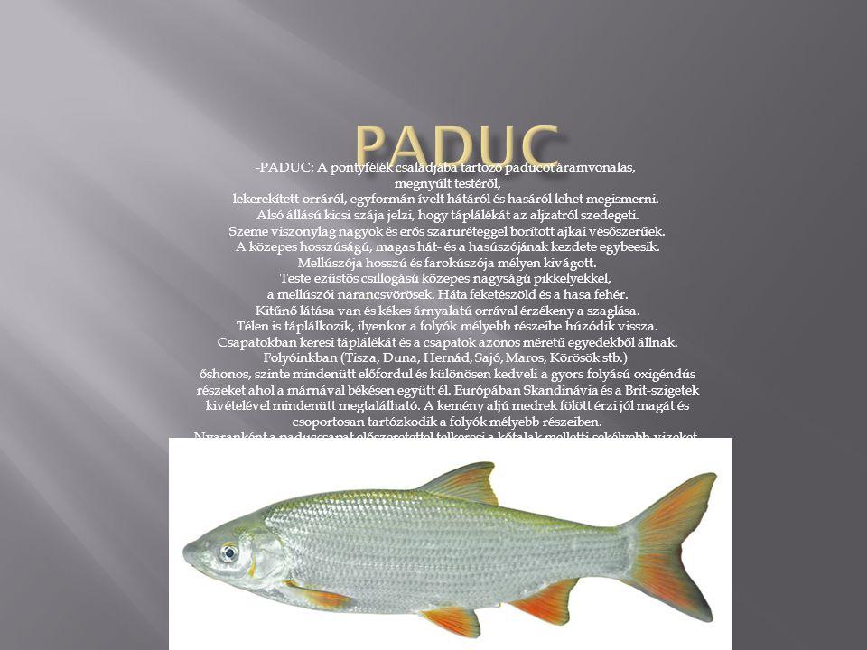 Paduc -PADUC: A pontyfélék családjába tartozó paducot áramvonalas,