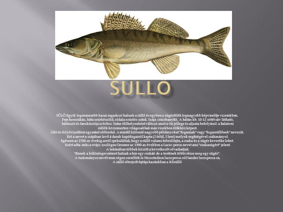 Süllő SŰLŐ:Egyik legnemesebb hazai ragadozó halunk a süllő és egyben a sügérfélék legnagyobb képviselője vizeinkben.