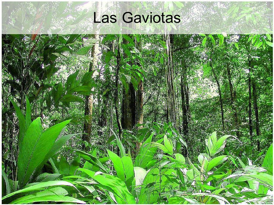 Las Gaviotas Las Gaviotas: a helyreállított erdő, szavanna helyett. 41