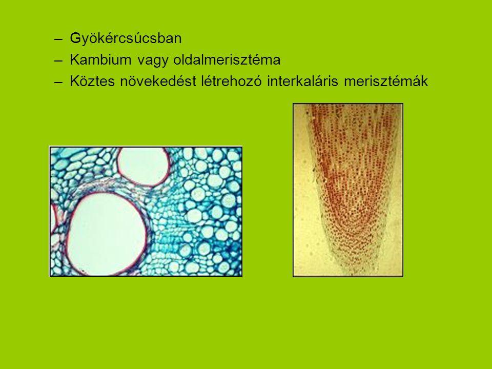 Gyökércsúcsban Kambium vagy oldalmerisztéma Köztes növekedést létrehozó interkaláris merisztémák