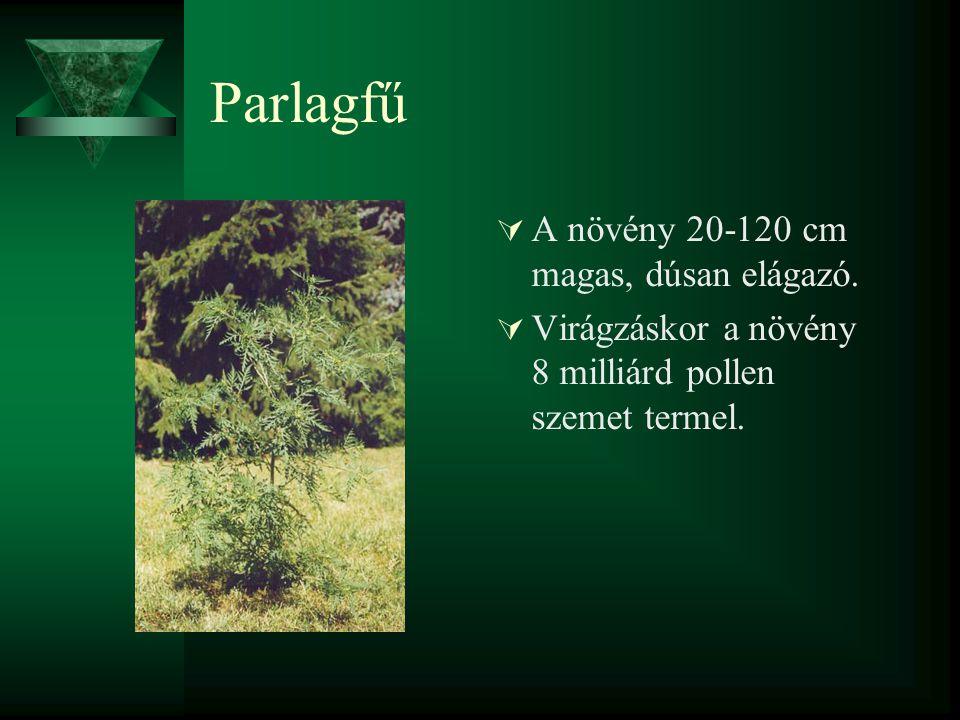 Parlagfű A növény 20-120 cm magas, dúsan elágazó.