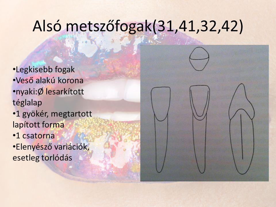 Alsó metszőfogak(31,41,32,42) Legkisebb fogak Veső alakú korona