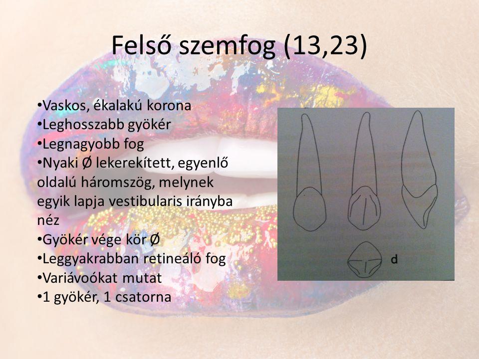 Felső szemfog (13,23) Vaskos, ékalakú korona Leghosszabb gyökér