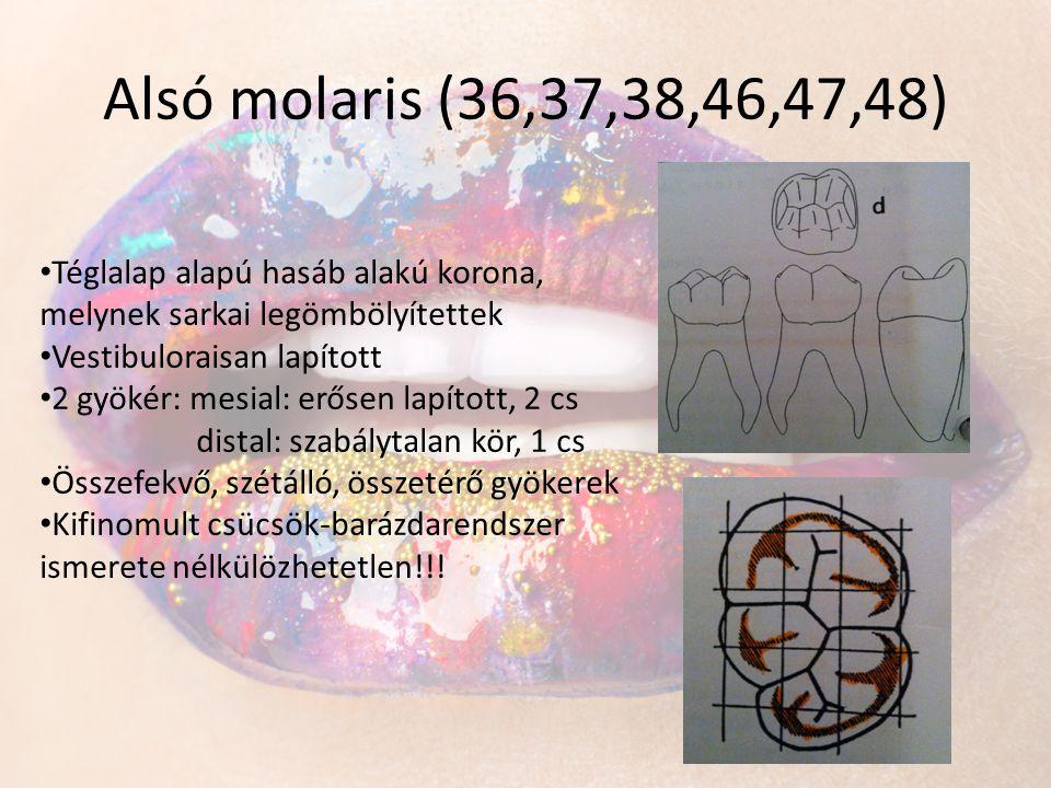Alsó molaris (36,37,38,46,47,48) Téglalap alapú hasáb alakú korona, melynek sarkai legömbölyítettek.
