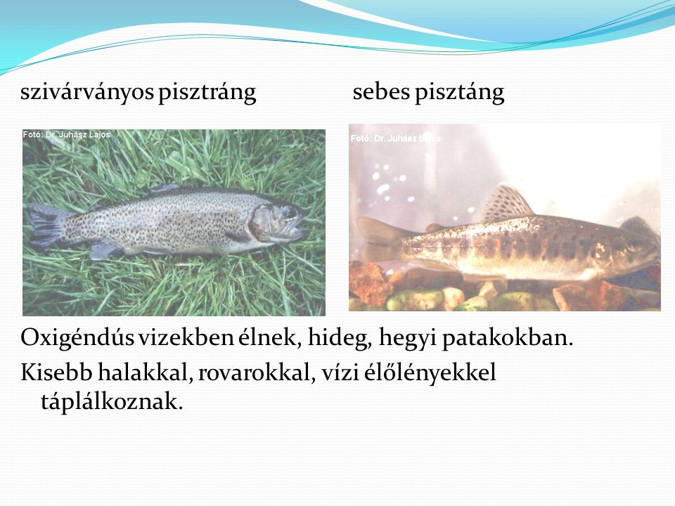 szivárványos pisztráng sebes pisztáng Oxigéndús vizekben élnek, hideg, hegyi patakokban.