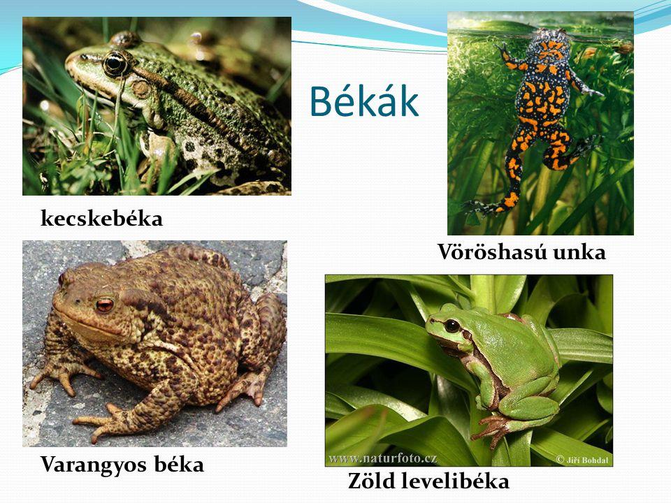 Békák kecskebéka Vöröshasú unka Varangyos béka Zöld levelibéka
