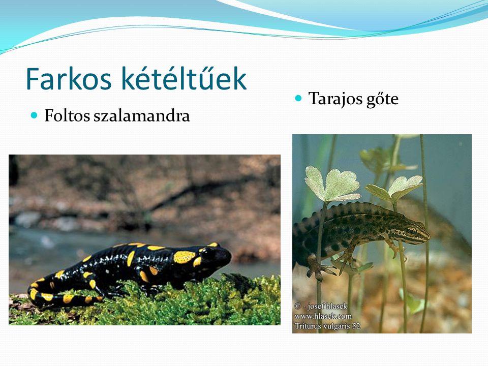 Farkos kétéltűek Tarajos gőte Foltos szalamandra