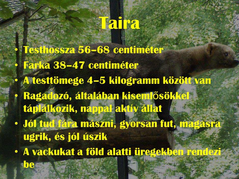 Taira Testhossza 56–68 centiméter Farka 38–47 centiméter