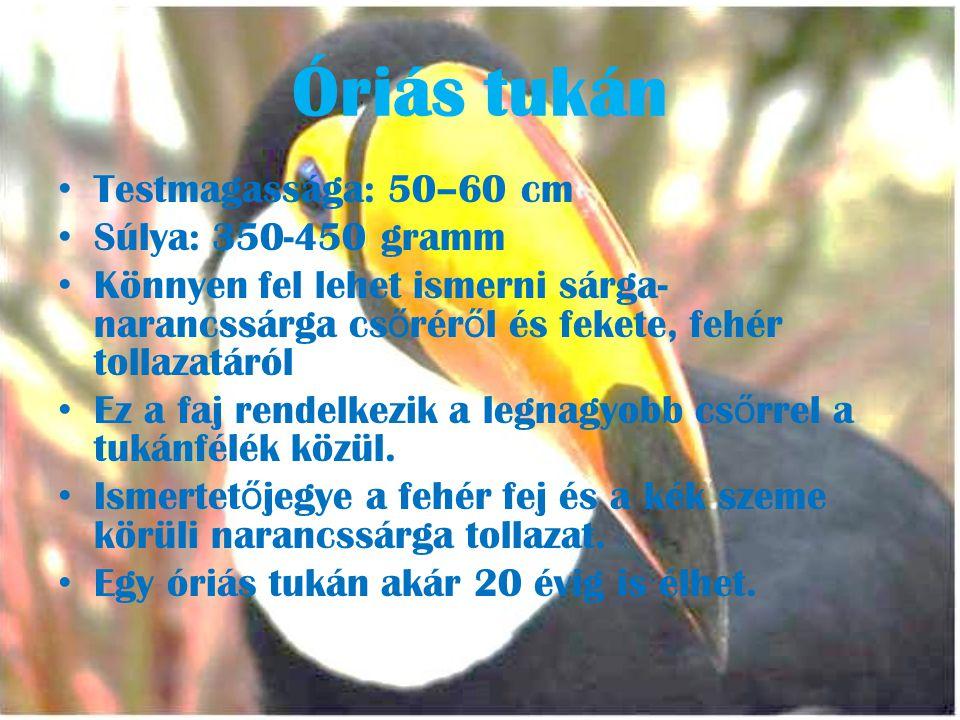 Óriás tukán Testmagassága: 50–60 cm Súlya: 350-450 gramm