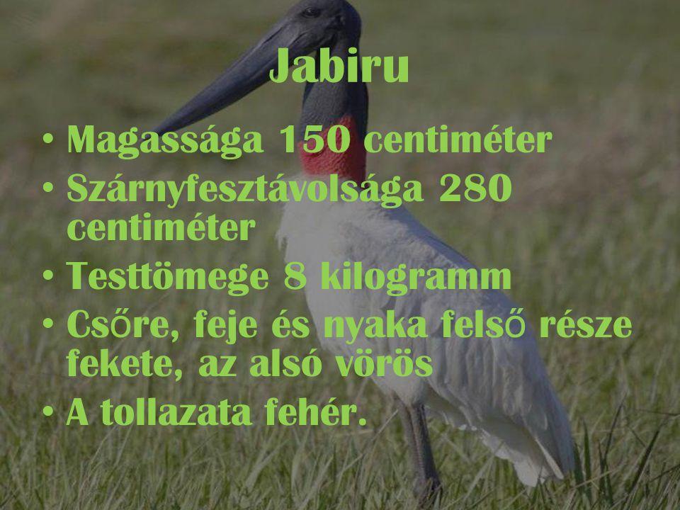 Jabiru Magassága 150 centiméter Szárnyfesztávolsága 280 centiméter