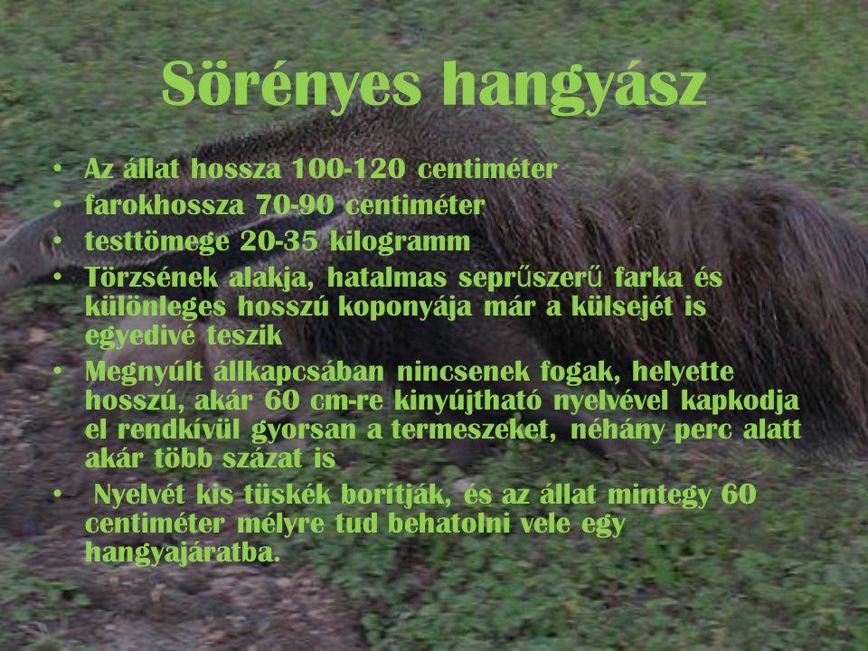 Sörényes hangyász Az állat hossza 100-120 centiméter