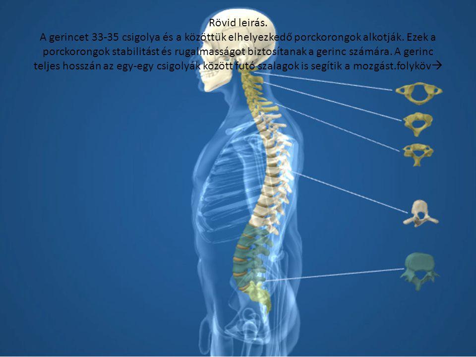 Rövid leirás. A gerincet 33-35 csigolya és a közöttük elhelyezkedő porckorongok alkotják.