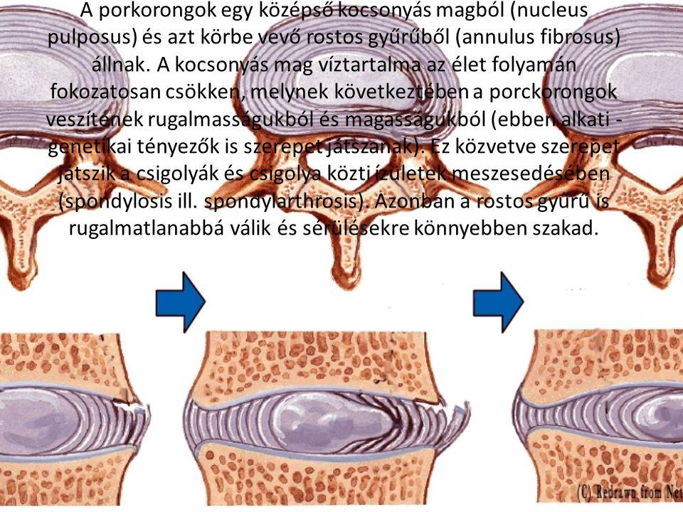 A porkorongok egy középső kocsonyás magból (nucleus pulposus) és azt körbe vevő rostos gyűrűből (annulus fibrosus) állnak.