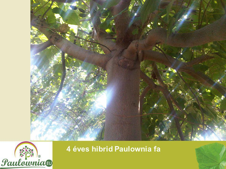 4 éves hibrid Paulownia fa