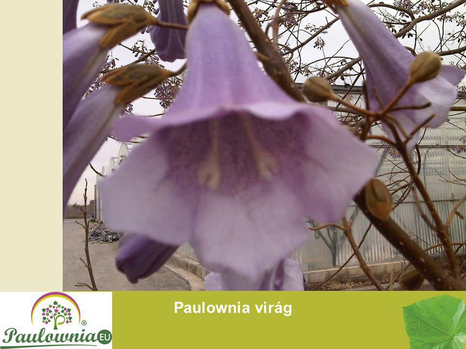 Paulownia virág