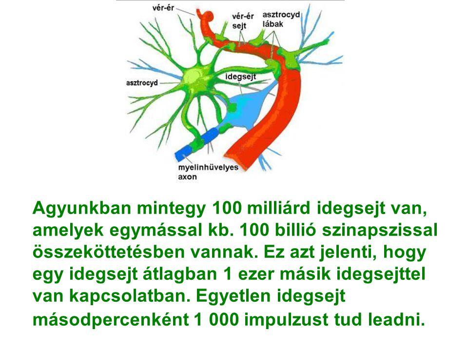 Agyunkban mintegy 100 milliárd idegsejt van, amelyek egymással kb