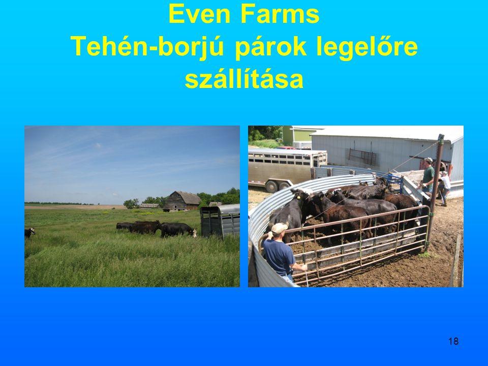 Even Farms Tehén-borjú párok legelőre szállítása