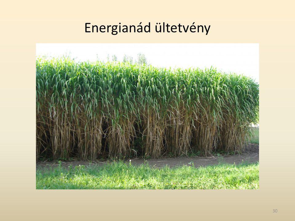 Energianád ültetvény